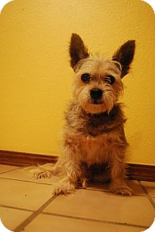 Yorkie, Yorkshire Terrier/Cairn Terrier Mix Dog for adoption in Verona, New Jersey - Rupert