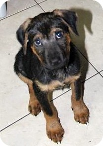 German Shepherd Dog/Labrador Retriever Mix Puppy for adoption in Miami, Florida - Brady