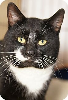 Domestic Shorthair Cat for adoption in Medford, Massachusetts - Johnson