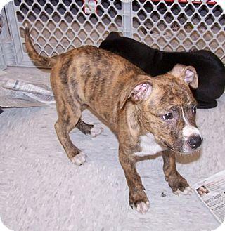 Brindle Pitbull Boxer Mix Pit bull terrier/boxer mix