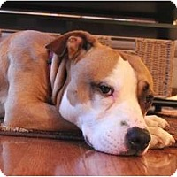 Adopt A Pet :: Pace - Reisterstown, MD