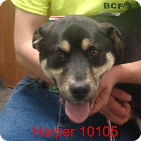Adopt A Pet :: Harper - baltimore, MD