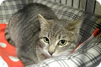 Domestic Shorthair Cat for adoption in Queens, New York - Venice