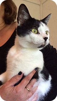 Domestic Shorthair Cat for adoption in Transfer, Pennsylvania - Jasmine