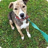 Adopt A Pet :: Mosby **IN FOSTER** - Breinigsville, PA