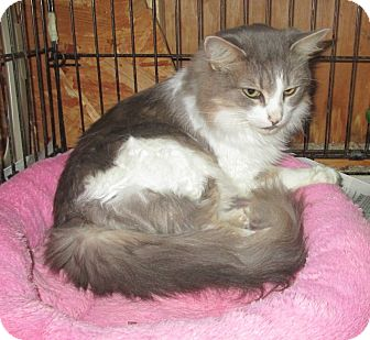 Domestic Longhair Cat for adoption in Mebane, North Carolina - Jackie