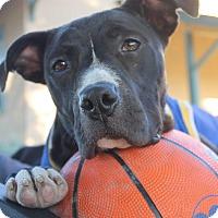 Pit Bull Terrier/Labrador Retriever Mix Dog for adoption in Tracy, California - Jaba