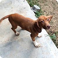 Adopt A Pet :: Salsa - Dumfries, VA