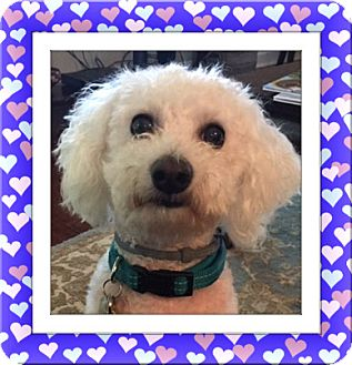 Bichon Frise Dog for adoption in Tulsa, Oklahoma - Adopted!!Toby - SC