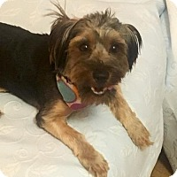 Shih Tzu/Yorkie, Yorkshire Terrier Mix Puppy for adoption in Flushing, New York - Axel