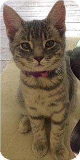 Domestic Shorthair Kitten for adoption in Bainsville, Ontario - SAGE