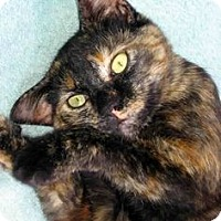 Domestic Shorthair Cat for adoption in Houston, Texas - MUFFY