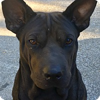 Adopt A Pet :: Choco - Spring Valley, NY