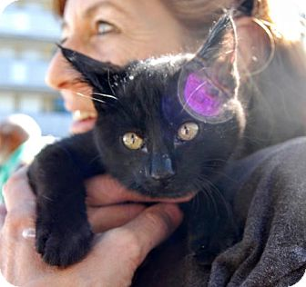 Domestic Shorthair Kitten for adoption in Pena Blanca, New Mexico - REX