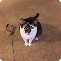 Domestic Shorthair Cat for adoption in Waldorf, Maryland - Trixie