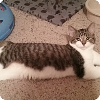 Domestic Shorthair Kitten for adoption in Cedar Springs, Michigan - Dixie