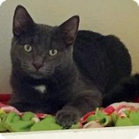 Adopt A Pet :: Cotton - Fairfax, VA