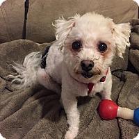 Bichon Frise Mix Dog for adoption in Glastonbury, Connecticut - Freddie