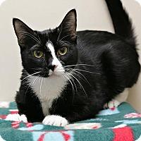 Adopt A Pet :: Chai - Bellingham, WA