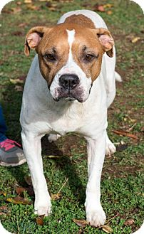 Pit Bull Terrier Mix Dog for adoption in Versailles, Kentucky - Penny