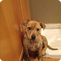 Adopt A Pet :: Bommer - LAKEWOOD, CA