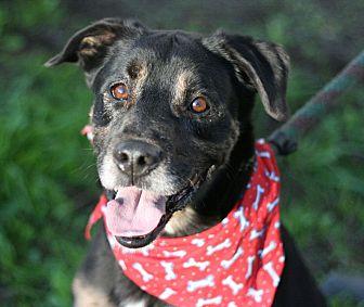 Shepherd (Unknown Type)/Rottweiler Mix Dog for adoption in Canoga Park, California - Gazpacho