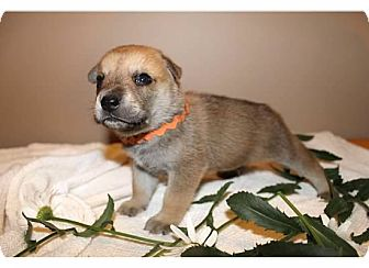 Belgian Malinois/Labrador Retriever Mix Puppy for adoption in Sinking Spring, Pennsylvania - Brady