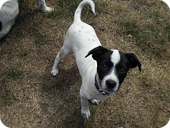Jack Russell Terrier Mix Puppy for adoption in Gig Harbor, Washington - Cooper