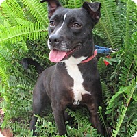 American Staffordshire Terrier Mix Dog for adoption in Los Angeles, California - MERENGUE