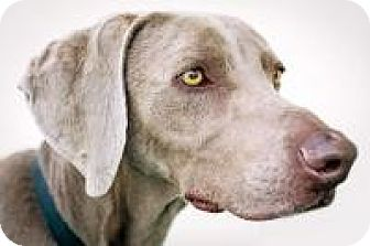 Weimaraner Dog for adoption in Sun Valley, California - Hunter
