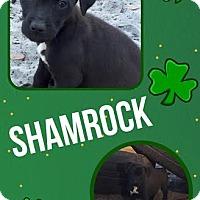 Adopt A Pet :: Shamrock - Groveland, FL