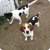Beagle Mix Dog for adoption in Liberty Center, Ohio - Jake