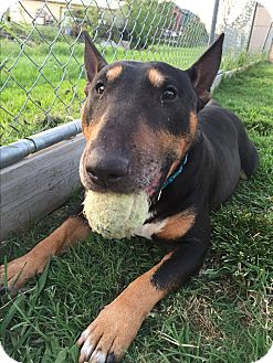 Bull Terrier Dog for adoption in Dallas, Texas - Rocco