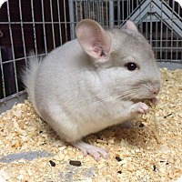 Adopt A Pet :: 9 wk pink white chinchilla - Hammond, IN