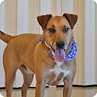 Labrador Retriever Mix Dog for adoption in Cincinnati, Ohio - Comet