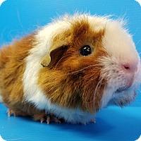 Adopt A Pet :: Desirae - Lewisville, TX