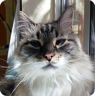 Himalayan Cat for adoption in Mountain Center, California - Lady Gaga
