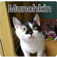 Adopt A Pet :: Munchkin & Sugar - Cumberland and Baltimore, MD