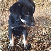 Adopt A Pet :: Brady - Bedminster, NJ