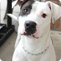 Adopt A Pet :: Layla - Wyandotte, MI