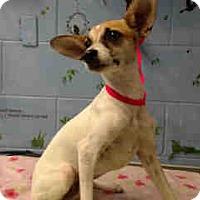 Italian Greyhound/Chihuahua Mix Dog for adoption in San Bernardino, California - URGENT ON 10/20 San Bernardino