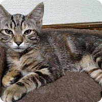 Domestic Shorthair Kitten for adoption in South Bend, Indiana - Gingersnap