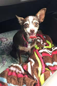 Chihuahua/Terrier (Unknown Type, Small) Mix Dog for adoption in Ardmore, Oklahoma - Pixie