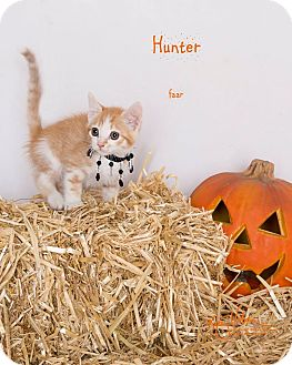Domestic Shorthair Kitten for adoption in Riverside, California - Hunter