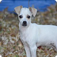 Chihuahua/Dachshund Mix Puppy for adoption in C/S & Denver Metro, Colorado - Mr. Bo Jangles  3 Months