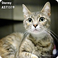 Domestic Mediumhair Cat for adoption in Conroe, Texas - STORMY