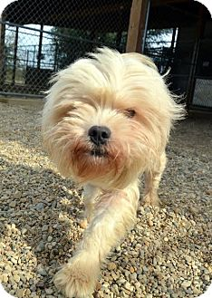 Havanese Dog for adoption in Lacon, Illinois - Abby