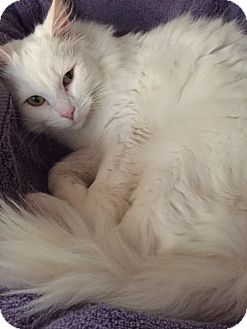 Turkish Van Cat for adoption in Mooresville, North Carolina - A..  Brianna