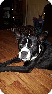 Boston Terrier/Boxer Mix Dog for adoption in Hainesville, Illinois - Blake