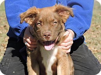 Retriever (Unknown Type) Mix Puppy for adoption in Berkeley Heights, New Jersey - Oscar